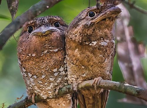 %name جغد دهانقورباغهای؛ لایکخورترین پرنده اینستاگرام