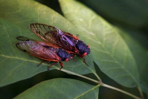 %name حشرهای که هر ۱۷سال یکبار از زیر زمین بیرون میآید