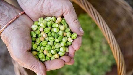 آموزش کامل کاشت نخود, فصل کاشت نخود, کاشت نخود در پاییز