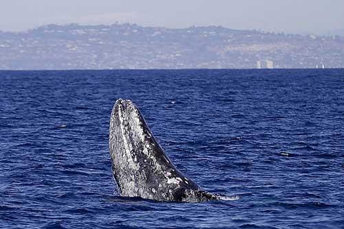 %name نهنگ ولگرد نیمی از کره زمین را شنا کرد!