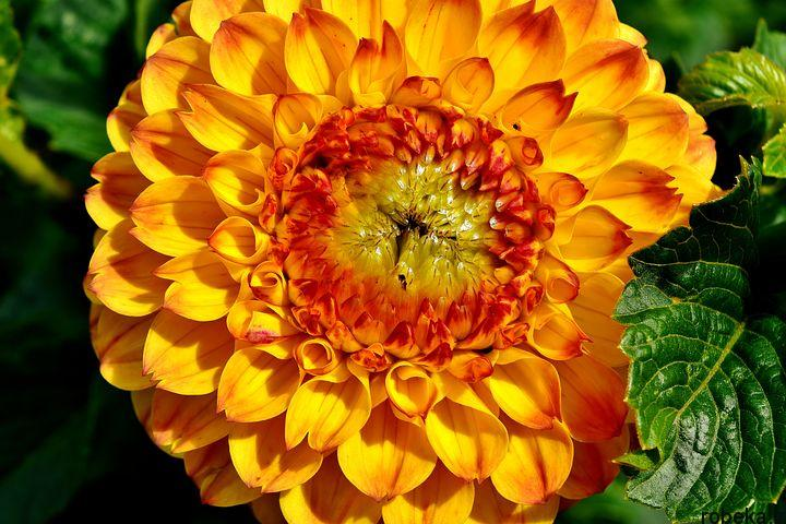 dahlia flower 10 عکس های زیبا از گل های کوکب زرد و بنفش، سفید و صورتی، قرمز و کوهی