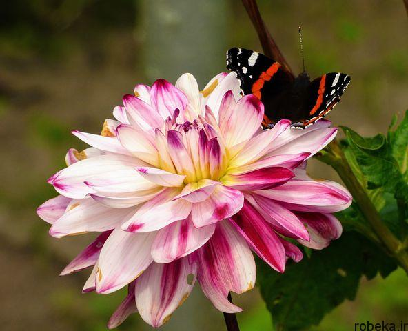 dahlia flower 13 عکس های زیبا از گل های کوکب زرد و بنفش، سفید و صورتی، قرمز و کوهی