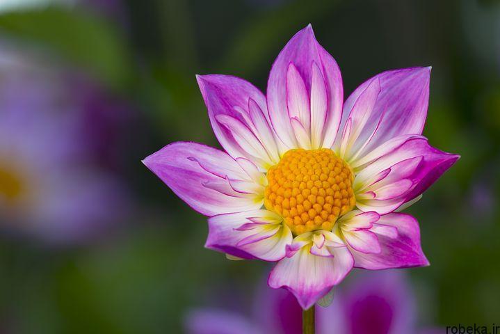 dahlia flower 15 عکس های زیبا از گل های کوکب زرد و بنفش، سفید و صورتی، قرمز و کوهی