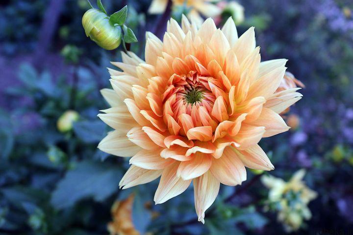 dahlia flower 21 عکس های زیبا از گل های کوکب زرد و بنفش، سفید و صورتی، قرمز و کوهی