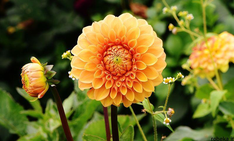 dahlia flower 7 عکس های زیبا از گل های کوکب زرد و بنفش، سفید و صورتی، قرمز و کوهی