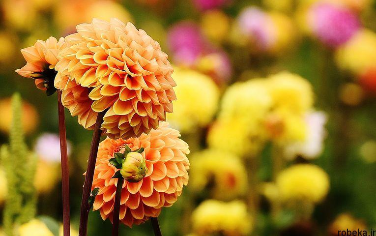 dahlia flower 8 عکس های زیبا از گل های کوکب زرد و بنفش، سفید و صورتی، قرمز و کوهی