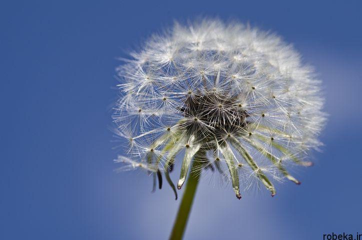 dandelion flower photos 10 عکس های دیدنی گل های قاصدک در طبیعت