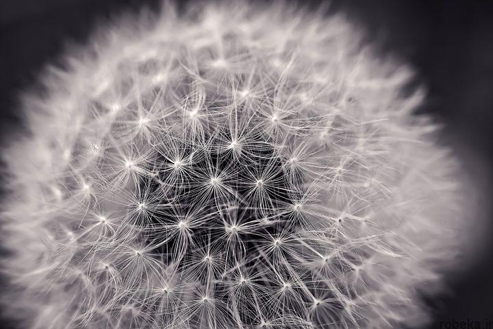 dandelion flower photos 11 عکس های دیدنی گل های قاصدک در طبیعت
