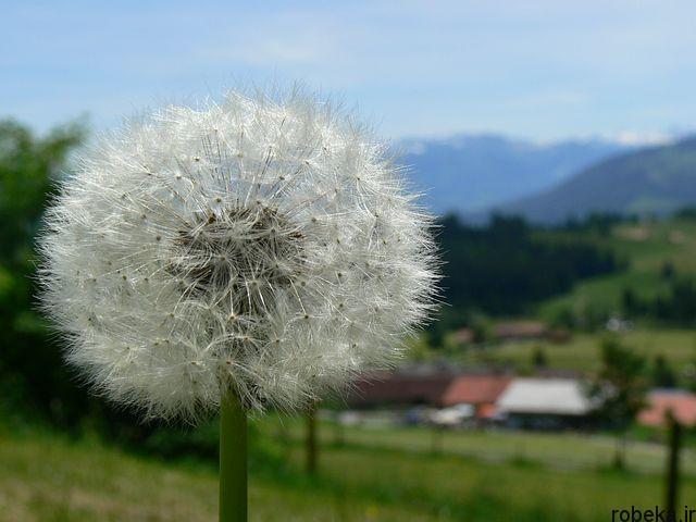 dandelion flower photos 12 عکس های دیدنی گل های قاصدک در طبیعت