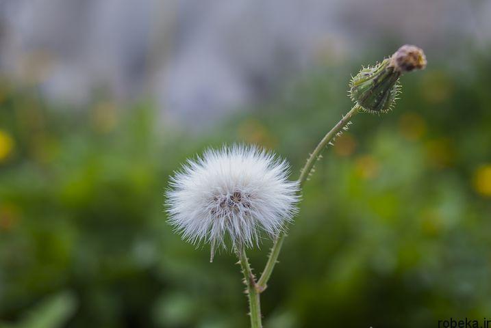dandelion flower photos 2 عکس های دیدنی گل های قاصدک در طبیعت
