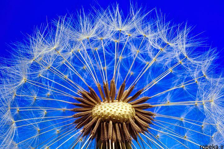 dandelion flower photos 3 عکس های دیدنی گل های قاصدک در طبیعت