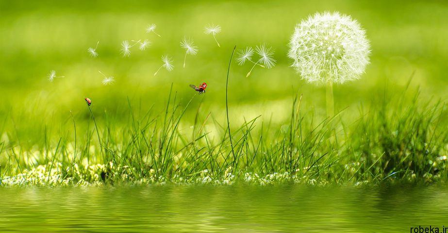 dandelion flower photos 4 عکس های دیدنی گل های قاصدک در طبیعت