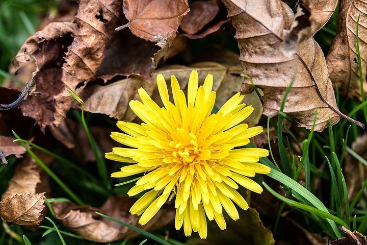 dandelion flower photos 5 عکس های دیدنی گل های قاصدک در طبیعت