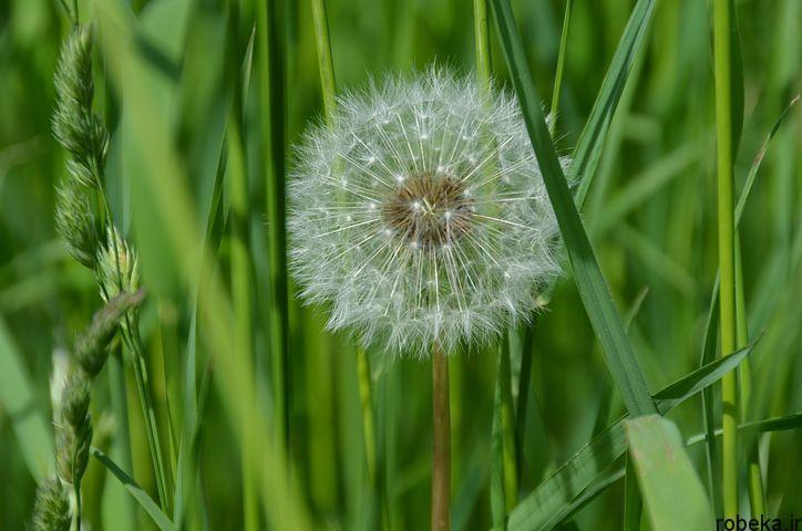 dandelion flower photos 6 عکس های دیدنی گل های قاصدک در طبیعت