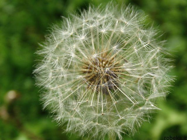 dandelion flower photos 7 عکس های دیدنی گل های قاصدک در طبیعت