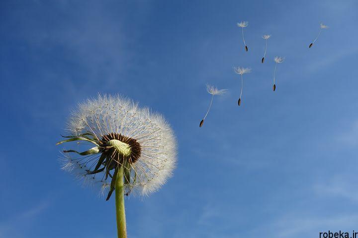 dandelion flower photos 8 عکس های دیدنی گل های قاصدک در طبیعت