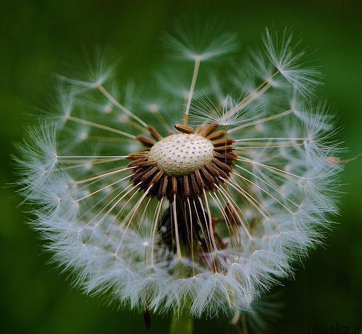 dandelion flower photos 9 عکس های دیدنی گل های قاصدک در طبیعت
