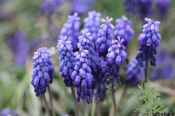 hyacinth flower photos 1 عکس های گل های سنبل بنفش و آبی، سفید، صورتی و زرد