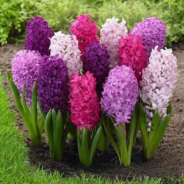 hyacinth flower photos 12 عکس های گل های سنبل بنفش و آبی، سفید، صورتی و زرد