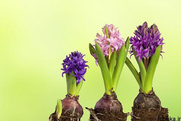 hyacinth flower photos 2 عکس های گل های سنبل بنفش و آبی، سفید، صورتی و زرد
