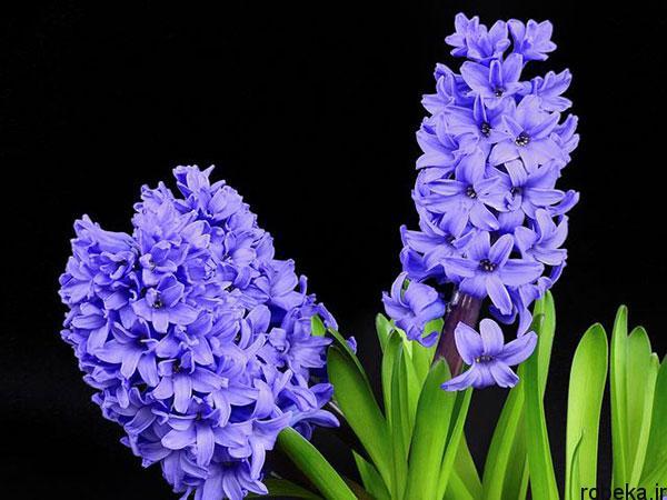 hyacinth flower photos 5 عکس های گل های سنبل بنفش و آبی، سفید، صورتی و زرد