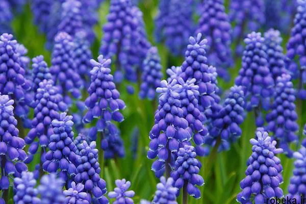 hyacinth flower photos 6 عکس های گل های سنبل بنفش و آبی، سفید، صورتی و زرد
