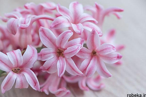 hyacinth flower photos 7 عکس های گل های سنبل بنفش و آبی، سفید، صورتی و زرد