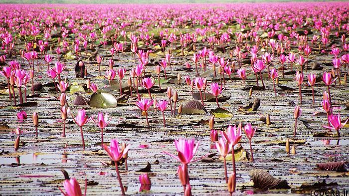 lotus flowers photos 1 17 عکس زیبا از گل های نیلوفر آبی در مرداب ها