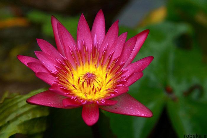 lotus flowers photos 10 17 عکس زیبا از گل های نیلوفر آبی در مرداب ها