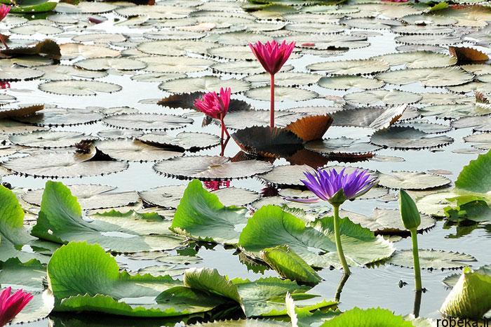 lotus flowers photos 11 17 عکس زیبا از گل های نیلوفر آبی در مرداب ها