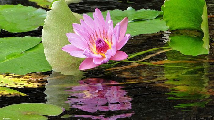 lotus flowers photos 15 17 عکس زیبا از گل های نیلوفر آبی در مرداب ها