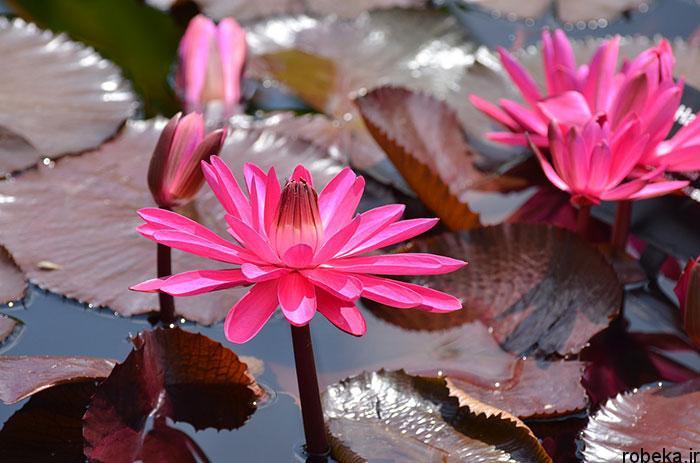 lotus flowers photos 17 17 عکس زیبا از گل های نیلوفر آبی در مرداب ها