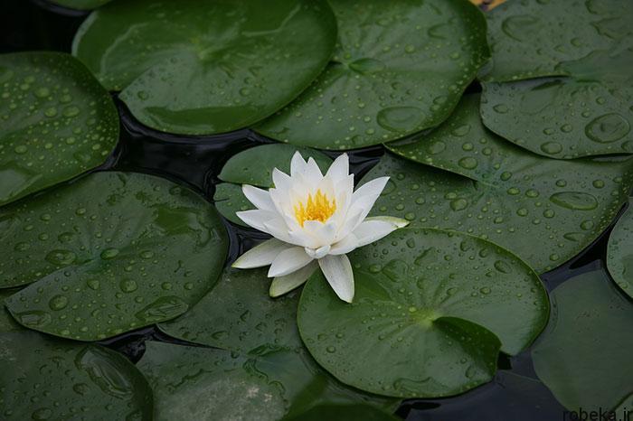 lotus flowers photos 2 17 عکس زیبا از گل های نیلوفر آبی در مرداب ها