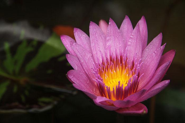 lotus flowers photos 5 17 عکس زیبا از گل های نیلوفر آبی در مرداب ها
