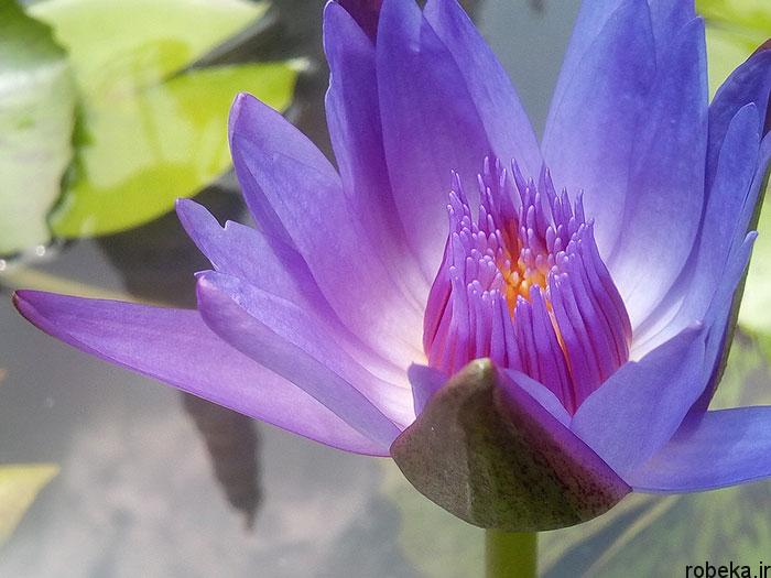 lotus flowers photos 7 17 عكس زيبا از گل هاي نيلوفر آبي در مرداب ها
