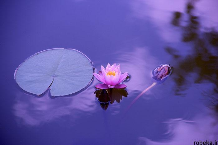 lotus flowers photos 9 17 عکس زیبا از گل های نیلوفر آبی در مرداب ها