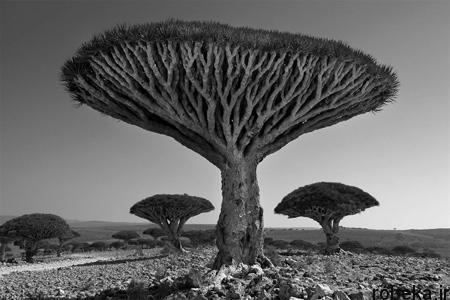 oldest trees world12 تصاویر کمیاب ترین و کهنسال ترین درختان دنیا