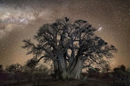 oldest trees world2 تصاویر کمیاب ترین و کهنسال ترین درختان دنیا