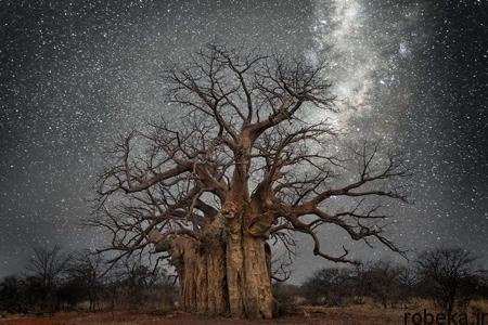 oldest trees world3 تصاویر کمیاب ترین و کهنسال ترین درختان دنیا