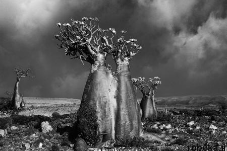 oldest trees world8 تصاویر کمیاب ترین و کهنسال ترین درختان دنیا