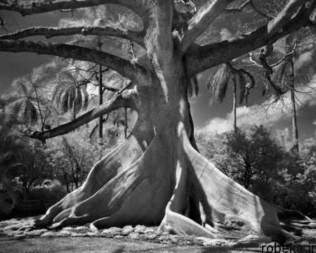 oldest trees world9 تصاویر کمیاب ترین و کهنسال ترین درختان دنیا