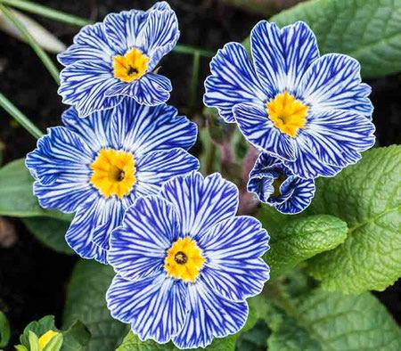 primrose flower 2 نحوه کاشت و نگهداری از گل پامچال