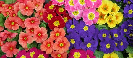 primrose flower 3 نحوه کاشت و نگهداری از گل پامچال