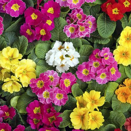 primrose flower 4 نحوه کاشت و نگهداری از گل پامچال
