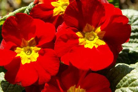 primrose flower 5 نحوه کاشت و نگهداری از گل پامچال