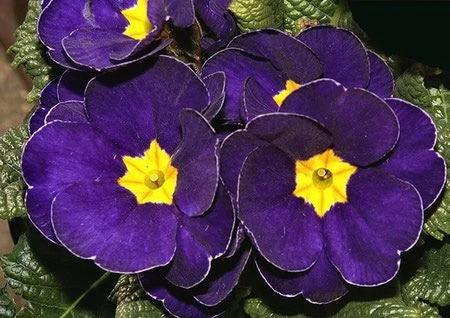 primrose flower 6 نحوه کاشت و نگهداری از گل پامچال