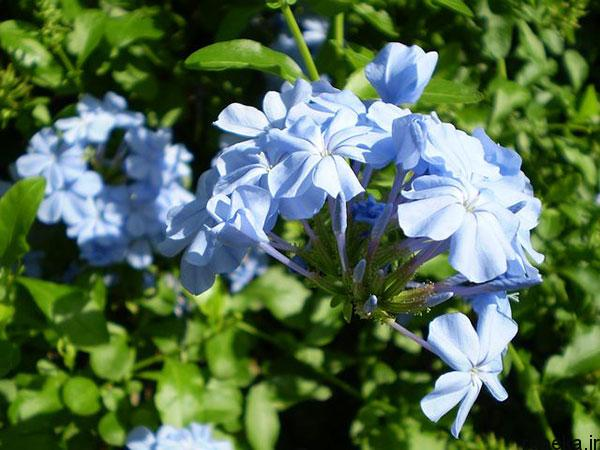 purple blue jasmine flower photos 1 عکس های زیبا از گل های یاس برای پروفایل