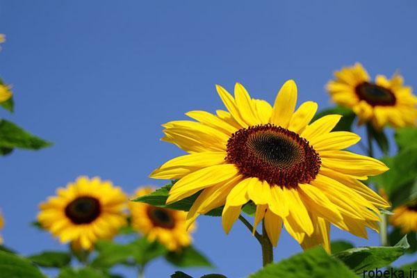 sunflower 10 عکس های گل های آفتابگردان رویایی در طبیعت
