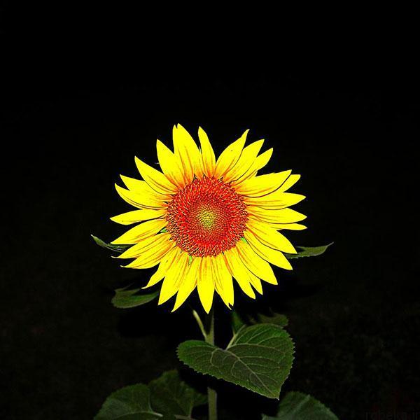 sunflower 12 عکس های گل های آفتابگردان رویایی در طبیعت