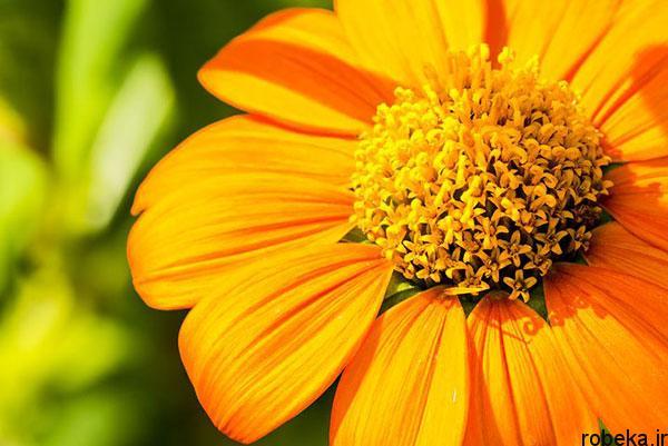 sunflower 14 عکس های گل های آفتابگردان رویایی در طبیعت
